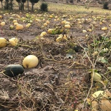 Pumpkin farms Cappadocia